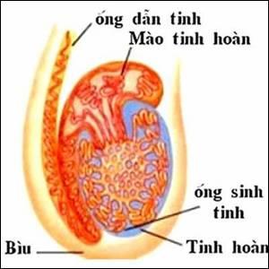viem-mao-tinh-hoan-benhvn